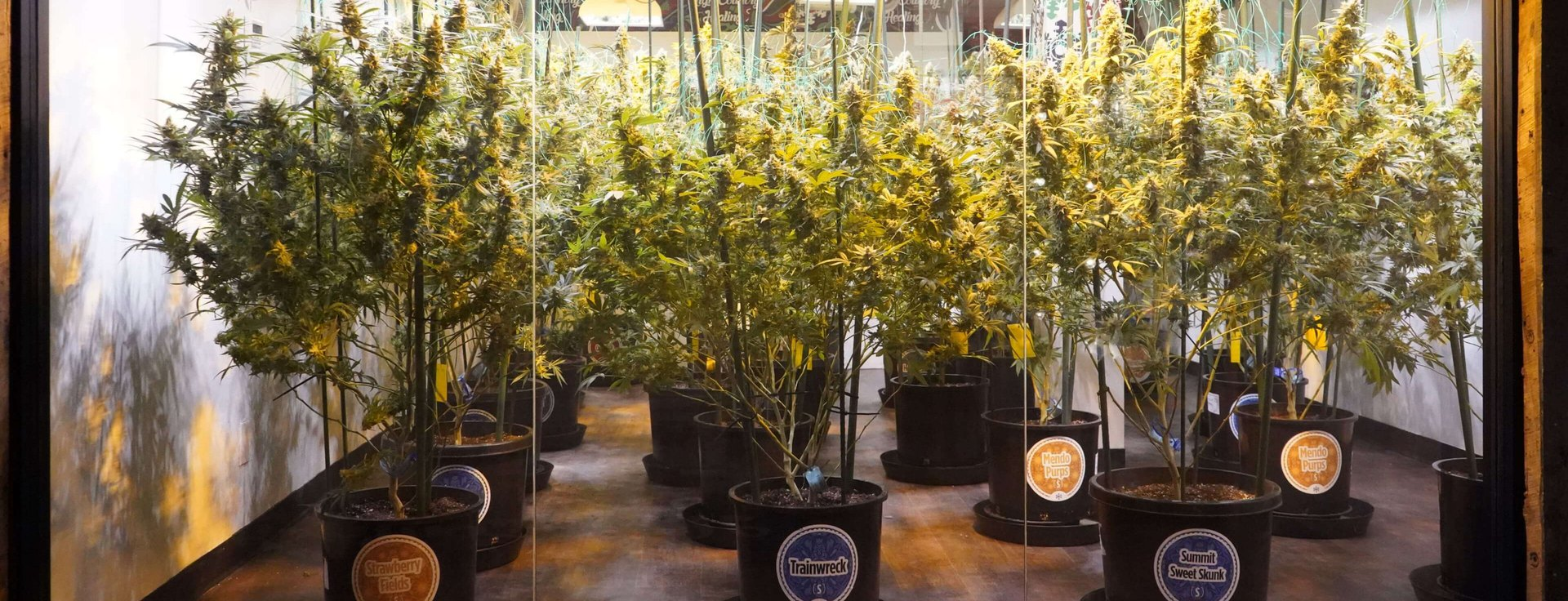 Visit Our Marijuana Dispensary Today and Pick Your Own Bud